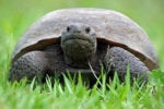 1024px florida gopher tortoise slow
