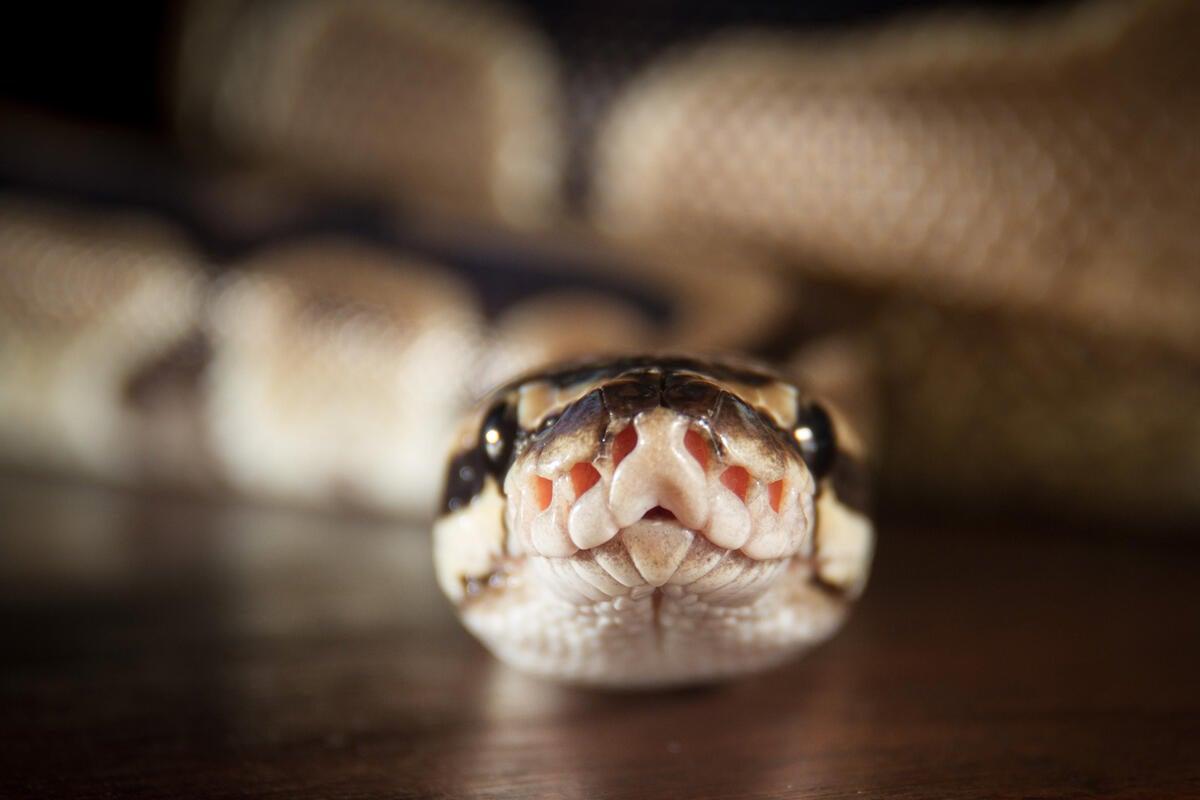 Python slithers toward top of language popularity index