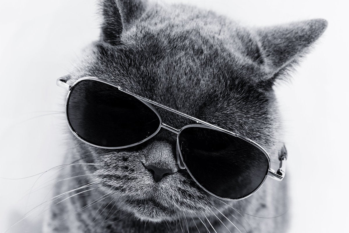 cool cat with sunglasses independent