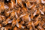 swarm of honey bees_worker bees