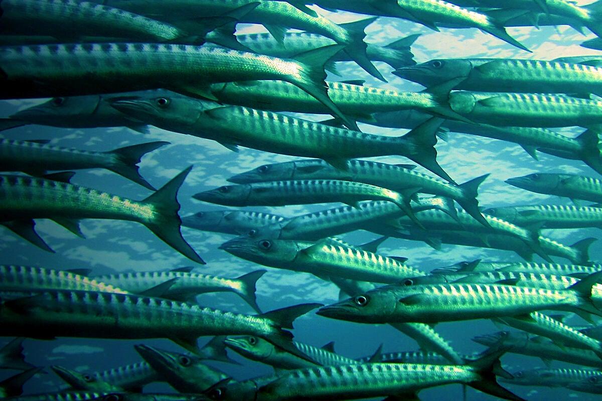 Barracuda_fish_ocean_by_peter_simmons_cc0_via_pexels_1200x800-100769313-large.3x2