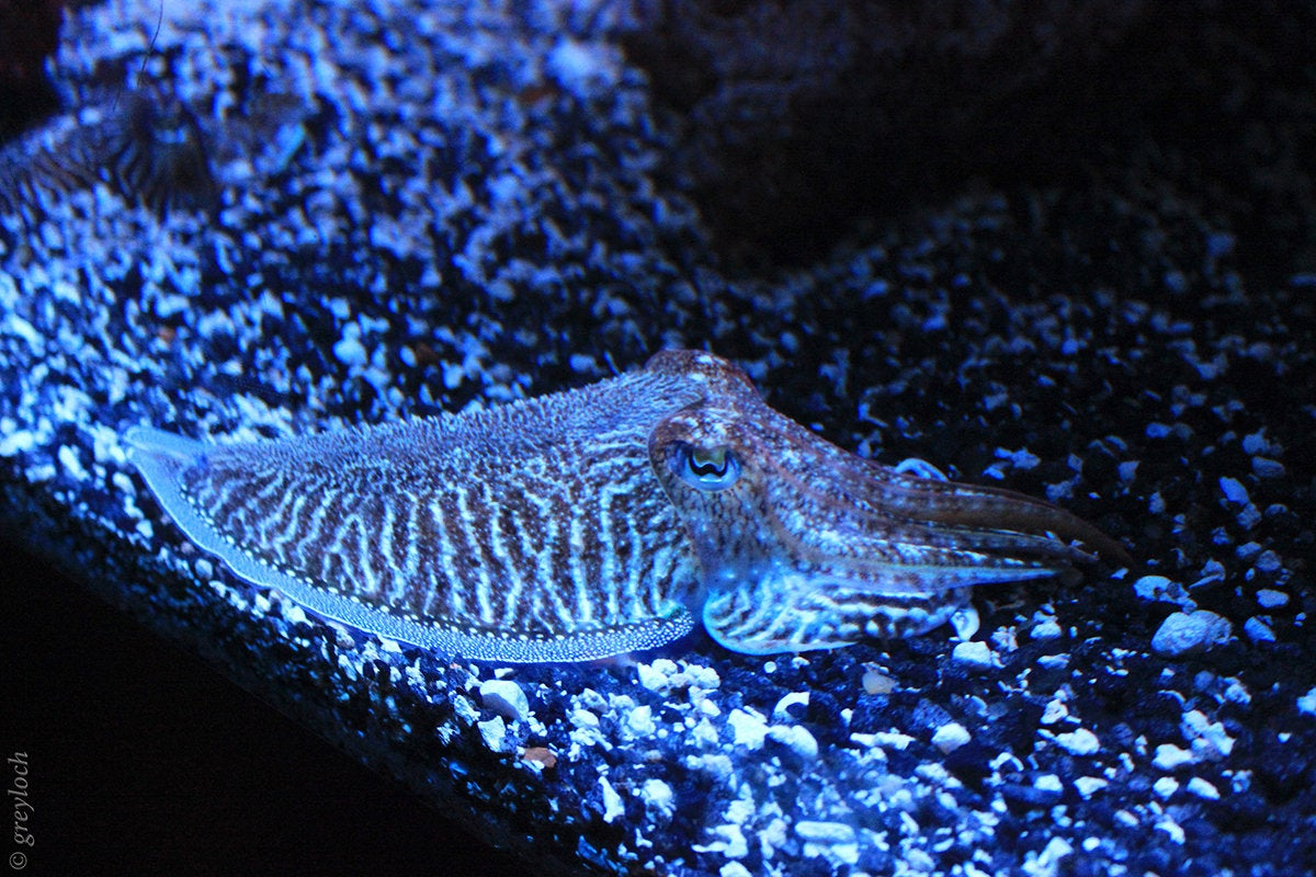cuttlefish greyloch