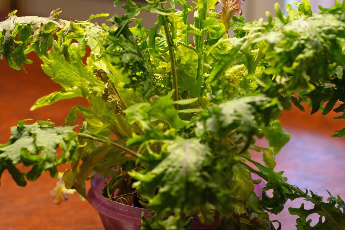 lettuce grown in miracle gro twelve