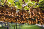 Kiwifruit marketer Zespri hits play on major IT transformation programme