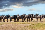 What wildebeest can teach us about cloud migration