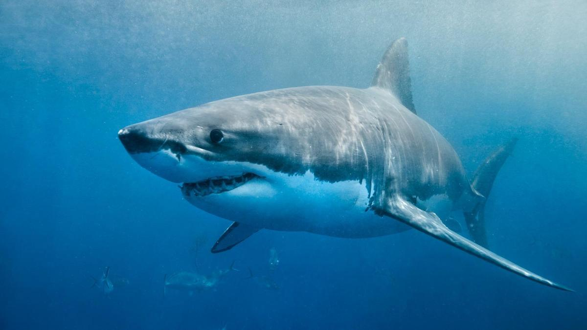 Little evidence sharks cause internet outages