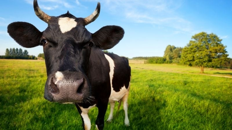 BT and the Internet of Cows